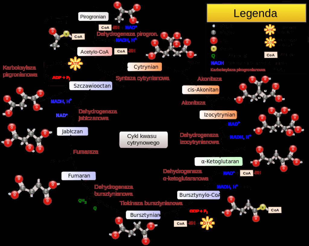 cykl-krebsa-szlaki-metaboliczne